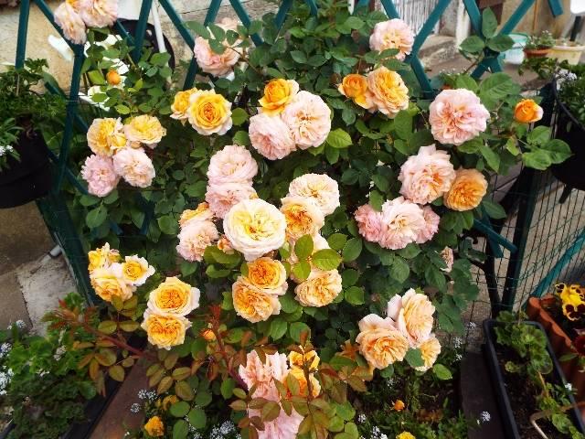 lorraine en fleur 2014 Mganxs