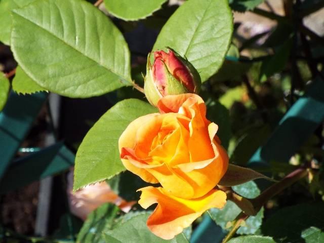 lorraine en fleur 2014 Rnzege
